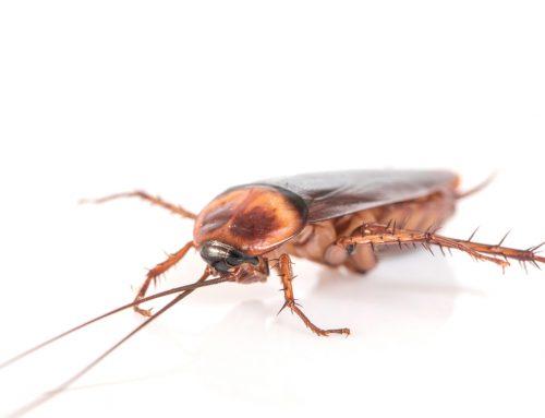 Plagas de cucarachas en invierno